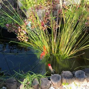 金魚と野鳥