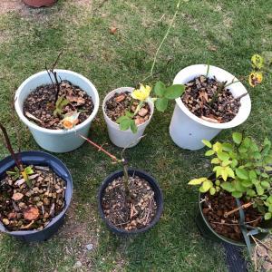 挿し木のバラの植え替え