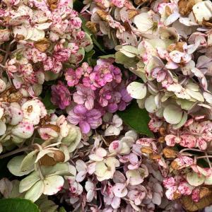 紫陽花の剪定と源平しだれ花桃の実とジューンベリー