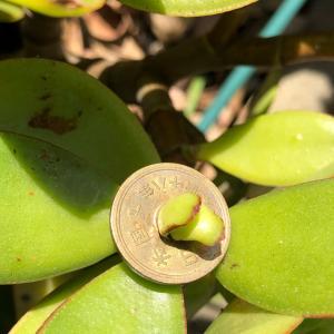 金の成る木とココ