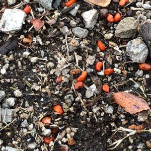 赤い実の種まき