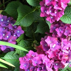 次男の所に赤ちゃんが生まれました と 紫の紫陽花とココ