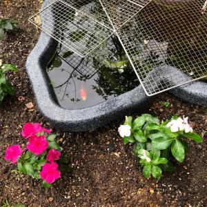 池の周りにニチニチソウを植えました