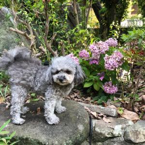 植え替えた紫陽花から、ガクアジサイが!