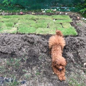 芝生をもらってきました