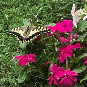 蝶が来ました