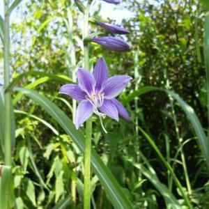 青い花ホスタ