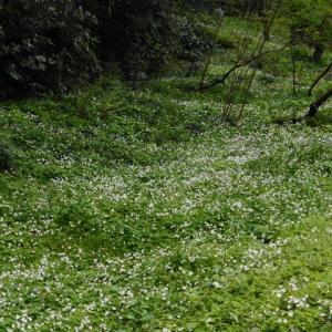 花探しウォーキング~4月7日赤塚ニリンソウ自生地他