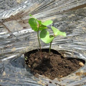 2021年6月のコットン畑の苗の成長記録