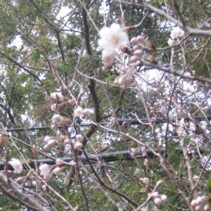 桜ならぬ さくらんぼの花咲きました