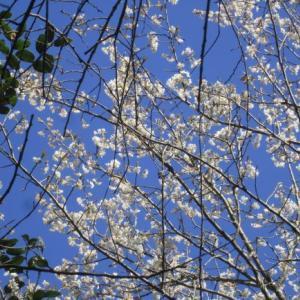 庭のサクランボの花最盛!
