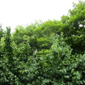 南高梅の収穫