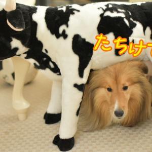 ちろり~ん♪シリーズ3連発 牛のうーちゃんとウチのモーちゃんとこむつむさん
