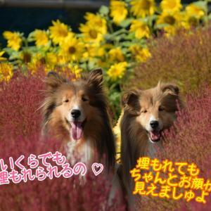 夏色と秋色のコラボ♡ ヒマワリとコキアの畑で映え写真が撮れるかな?