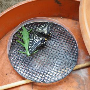 平成最後の日・・突然ウチのベランダにやってきた1匹のアゲハ蝶