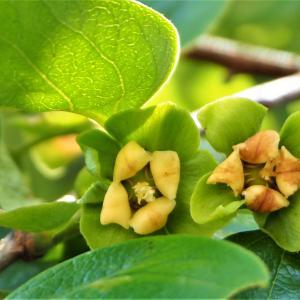 地味な柿の木の花