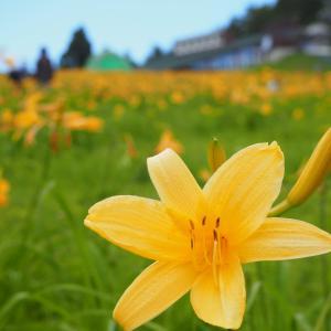 六甲山上は花畑