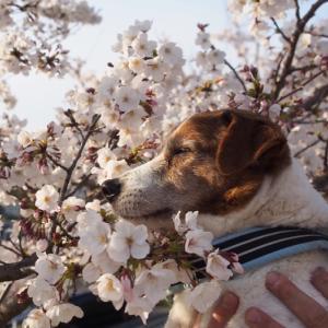 狭山池の桜2021