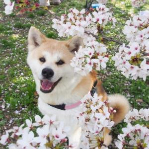 大仙公園の桜2回目!