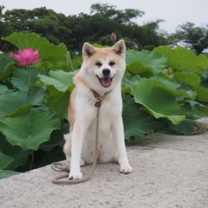 白鷺公園の蓮