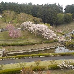 ボタン桜がきれいです。