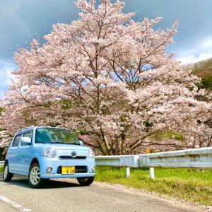 春だ!桜だ!ココアだ!
