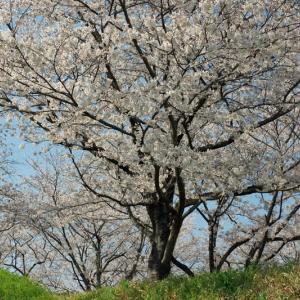 今年のさくら市ゆうゆうパークの桜