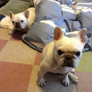 まだまだ続く犬たちの寝正月  +桃鉄カレンダー第3次告知