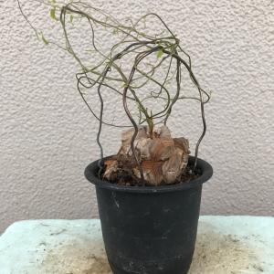蔓は伸びれど・・・・・・