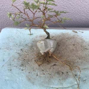 根が伸びます