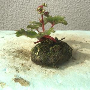 大文字草の花芽