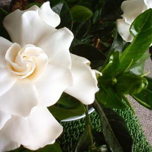 古民家のクチナシの花