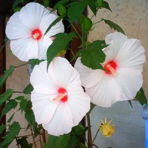 今年もタイタンビカスが咲きました