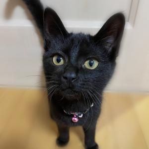 黒ネコちゃん、避妊手術後3日目。ゴロゴロが聞けてホッと。