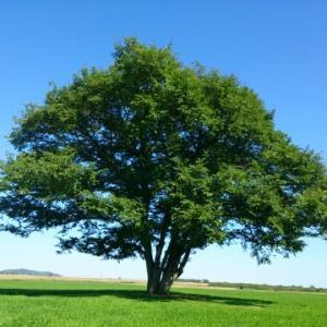 思い出ノート   はるにれの木(北海道 豊頃町)
