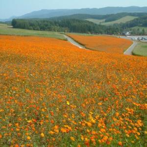 北海道 えんがる公園のコスモスと能取湖のサンゴ草