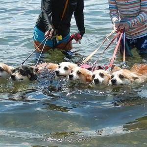 【犬連れキャンプ】コーギー6匹いっぺんに泳がせてみたら…【琵琶湖で湖水浴】