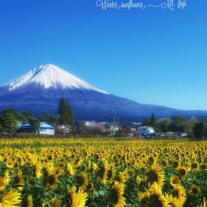 冬のひまわり~スマホ撮影の富士山