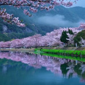2021桜⑥ 下北山村運動公園の桜