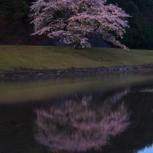 2021桜⑧ 大白の1本桜