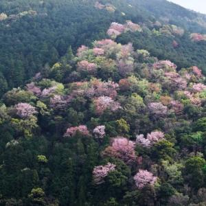 2021桜10 近所の山桜