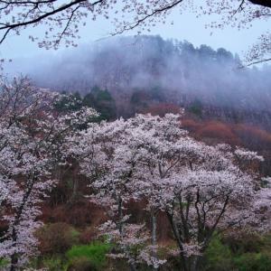 2021桜11 相津峠の山桜・屏風岩桜