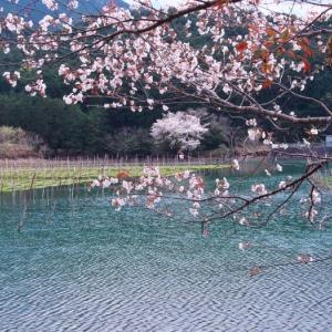 2021桜12 矢口湾の1本桜