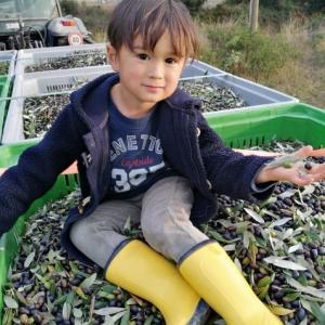 オリーブの収穫終了