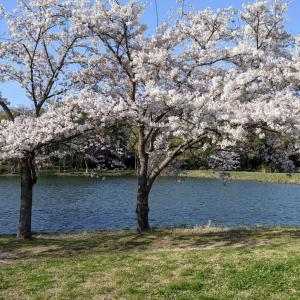 *ごめんね 桜*