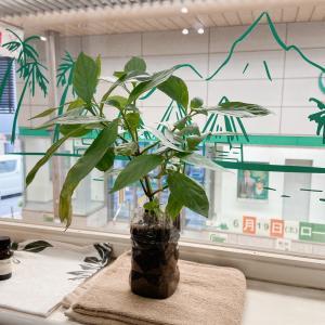 琉球藍の植木とヘナセミナー