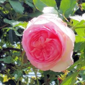 6日ぶりの庭には 薔薇が