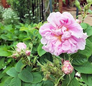アイワの薔薇たち