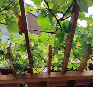 葡萄の生育