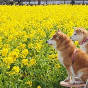 菜の花が見頃。滋賀県のなぎさ公園